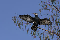 Great cormorant in tree Royalty Free Stock Images