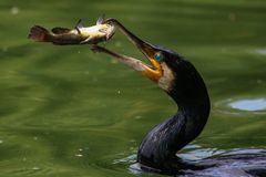 Great Cormorant trowing a fish in the air. Great Cormorant catching fish. The great Cormorant trowing a fish in the air. This image was taken in Bucharest royalty free stock photos