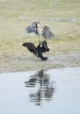 Great Cormorant trying to snatch fish from Grey Heron Royalty Free Stock Photo