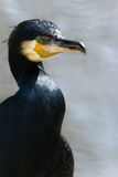 Great cormorant at the waterside Royalty Free Stock Images