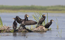 Great Cormorants Royalty Free Stock Image
