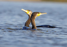 Great cormorants Royalty Free Stock Image