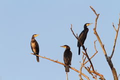 Great cormorants on dead tree Royalty Free Stock Images