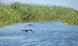 Great Cormorants in flight Royalty Free Stock Photo