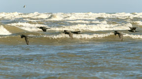 Great Cormorants over the sea Stock Photo