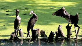 Great Cormorants (Phalacrocorax carbo) in the pond. stock video
