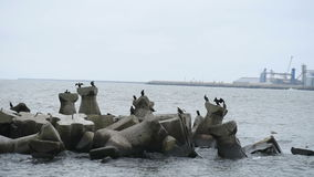 Great cormorants resting and drying feathers on rocks stock video