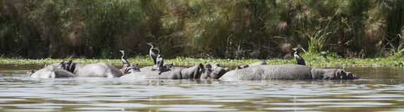 Great Cormorants resting on hippo backs Royalty Free Stock Photography
