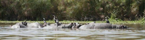 Great Cormorants resting on hippo backs Royalty Free Stock Photography