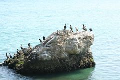 Great Cormorants Royalty Free Stock Photos
