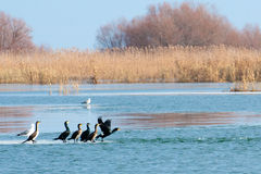 Great Cormorants taking off from ice Royalty Free Stock Photo