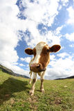 Great cow grazing shot with fisheye lens Stock Photography