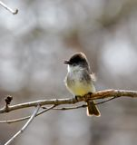 Great-crested Flycatcher Royalty Free Stock Image