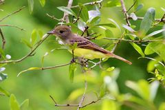 Great Crested Flycatcher Stock Photo