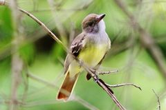 Great Crested Flycatcher Royalty Free Stock Images