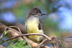 Great Crested Flycatcher Fledgling. Great Crested Flycatcher (Myiarchus crinitus) recently fledged from the nest and perched on the branch of a pine tree Stock Photos