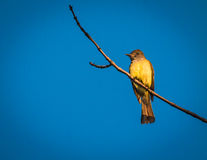 Great crested flycatcher Royalty Free Stock Photos