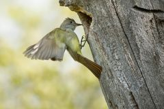 Great Crested Flycatcher - Myiarchus crinitus. Great Crested Flycatcher arriving at its nest cavity in an old dead tree. High Park, Toronto, Ontario, Canada Royalty Free Stock Photos