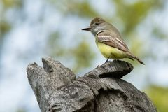 Great Crested Flycatcher - Myiarchus crinitus. Male Great Crested Flycatcher perched at the top of a dead tree. High Park, Toronto, Ontario, Canada Royalty Free Stock Images