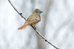 Great Crested Flycatcher Royalty Free Stock Photography