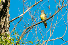Great-crested Flycatcher Royalty Free Stock Photos