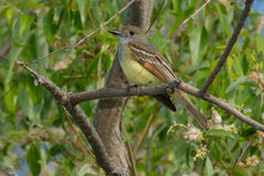 Great Crested Flycatcher Royalty Free Stock Photo