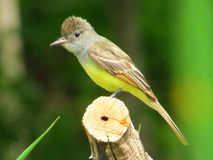 Great Crested Flycatcher stock images