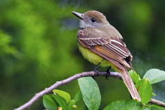 Great-Crested Flycatcher Royalty Free Stock Photography