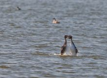 Great Crested Grebe´s mating dance Stock Photos