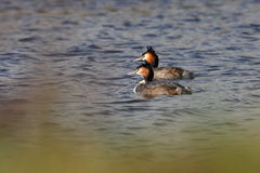 Great Crested Grebe. Seen from the top of a dyke Stock Photography