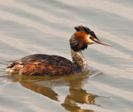 Free Great Crested Grebe Stock Images - 18955714