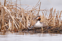 Great crested grebe. A great crested grabe sitting on a nest Stock Photography