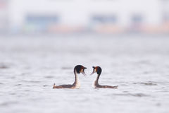 Great crested grebe. Two great crested grabe making love Stock Photography