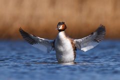 Great crested grebe. A great crested grabe spread his wings Royalty Free Stock Image