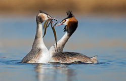 Great Crested Grebe Royalty Free Stock Images