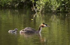 Great crested grebe. A great crested grebe with it's young stock photos