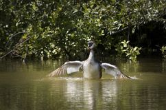 Great crested grebe. A great crested grebe flapping it's wings stock photos