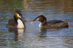 Great crested grebe Royalty Free Stock Photo
