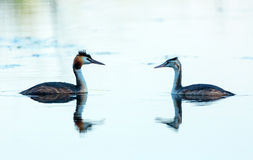 Great crested grebe adult and juvenile Stock Image