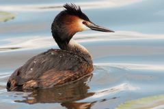 Great crested grebe in blue water Stock Photo