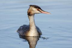 Great Crested Grebe Royalty Free Stock Image