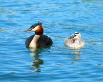 Great crested Grebe and chick in bright blue water Royalty Free Stock Photography