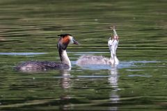 Great Crested Grebe chick eating a fish stock images