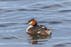 Great Crested Grebe with a chick Stock Images