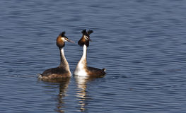 A Great Crested Grebe Couple Flirting. A couple of great crested grebe is wooing on a pond Royalty Free Stock Photo