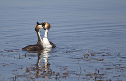 A Great Crested Grebe Couple Flirting. A couple of great crested grebe is wooing on a pond Stock Photos
