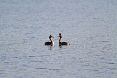Great Crested Grebe in courtship Stock Photography