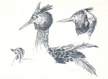 Great crested grebe drawing Stock Photo