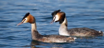 Great crested grebe ducks couple Stock Image