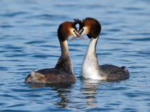 Great crested grebe ducks courtship. Couple of great crested grebe (podiceps cristatus) male and female ducks doing courtship on water stock images